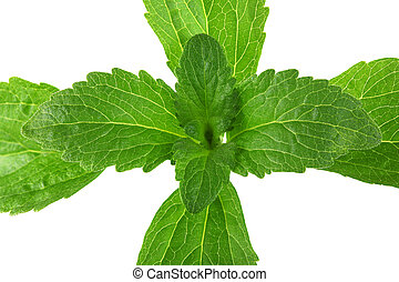 Stevia Plant from Top Cutout