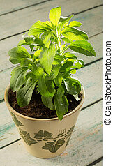 Stevia plant - Small stevia plant growing in a rustic clay...