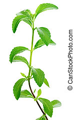 Stevia plant - Stevia rebaudiana, sweetleaf sugar substitute