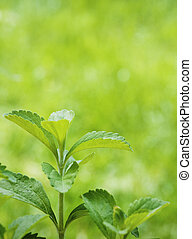stevia rebaudiana branch close up over a green vertical background with room for text