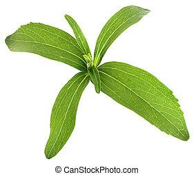 Stevia rebaudiana, sweet leaf sugar substitute on white...
