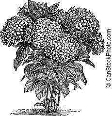 stich, macrophylla, bigleaf, hortensie, weinlese, oder