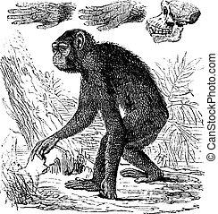 stich, troglodytes, weinlese, schimpanse, oder, pfanne