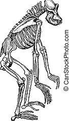 stich, weinlese, skelett, gorilla
