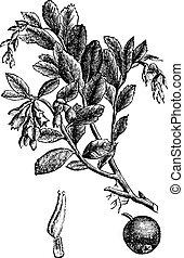 stich, weinlese, vitis, idaea, vaccinium, cowberry, oder