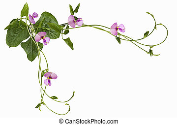 Swirl Vigna sesquipedalis Fruwirth Vigna sinensis Dolichos sesquipedalis long stick bean