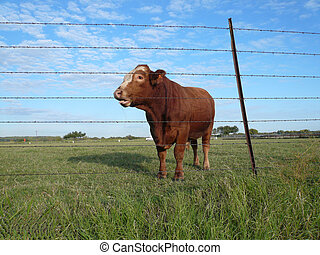 Bull sticking out tongue at photographer!