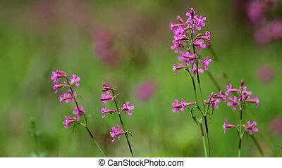 Sticky Catchfly ,lychnis viscaria