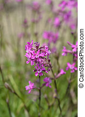 Sticky catchfly pink flowers - Latin name - Lychnis viscaria (Silene viscaria)