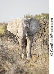 stier olifants