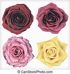 stil,  rosÈ, isolerat, fyra,  retro, Årgång, Blomstrar