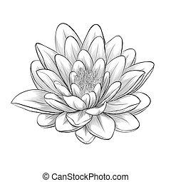 stile, fiore, loto, isolato, dipinto, grafico, nero, bianco