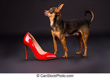 stiletto., pedigreed, chien, minuscule, rouges