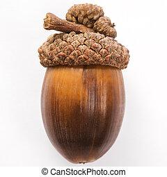 Still life of acorn. - Still life of single acorn.