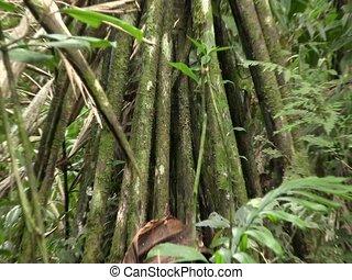 Stilt roots of the palm (Iriartea deltoidea) - In the...
