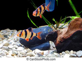 stim, (barbus, akvarium, fish-barbus., pentazona)