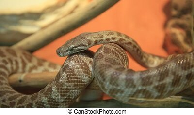 Stimson's python snake. Antaresia stimsoni species, is an Australian non-venomous snake. Pythonidae snakes family. Living in all Australia and kept as pets in terrariums.