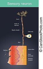 stimulus, sensoriel, environments., neuron., externe, cellules, différent, acte