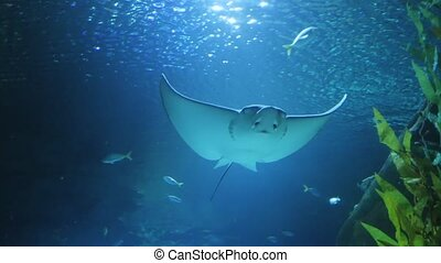 Sting ray swimming in aquarium - Sting ray swimming in...