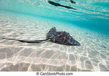 Sting ray swimming in shallow water