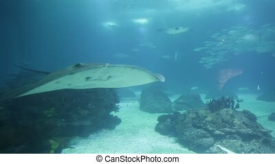 Sting Ray underwater - Sting Ray or Myliobatis aquila,...