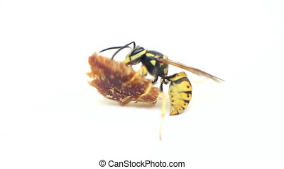 Stinging insects. Wasp drags prey on white background -...