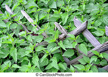 stinging nettle at a wooden fence