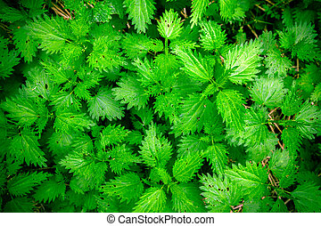 Stinging nettle leaves as background. Beautiful texture of nettle. Top view. Can use for banner