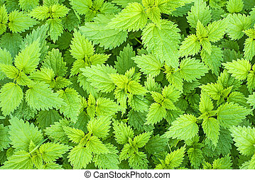 Stinging nettle, Urtica dioica