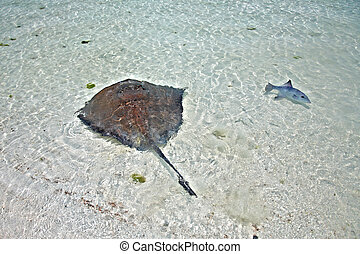 stingray and triggerfish in a shallow water