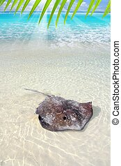 stingray, dasyatis americana, en, playa de caribbean