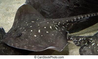 Stingray fish - Myliobatoidei. Underwater shot of spotted grey venomous fish swimming and searching for food. Dangerous aquatic animal
