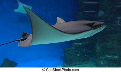Stingray floating under water against blue background. 4K...