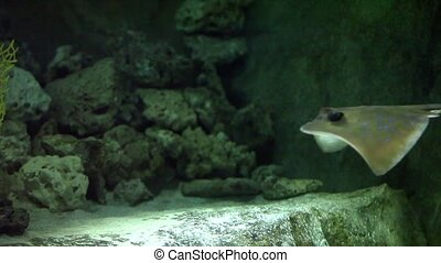 Stingray flying underwater