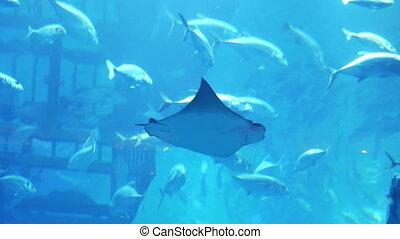 Stingray in aquarium in Dubai Mall