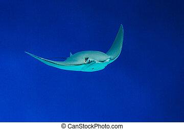 Stingray in the blue ocean