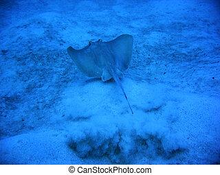 Stingray - A stingray swimming away...