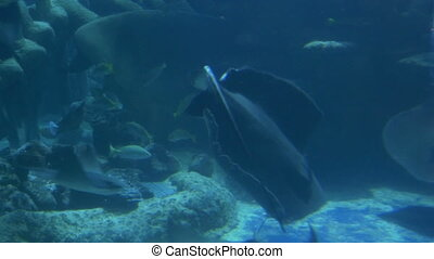 Beautiful stingrays swimming gracious among other fish on the bottom of a sea, near a whale skeleton.