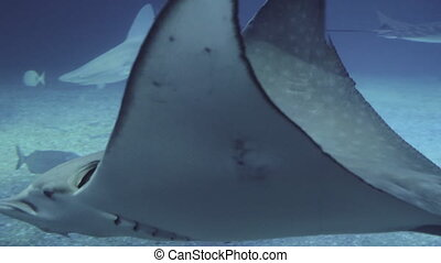 Slow motion underwater shot of spotted eagle stingray and sharks swimming the oceanarium