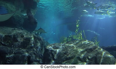 stingrays and sharks swim in the large aquarium of the aquarium. Marine life.