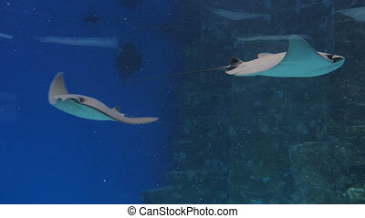 Stingrays floats on the deep