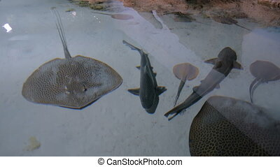 Stingrays with another marine fishes floats on the deep....