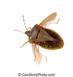 Stink aka shield bug, Nezara viridula, adult in winter colors about to fly with visible wings. Isolated on white. Macro. Note some motion blur. Parasite egg visible.
