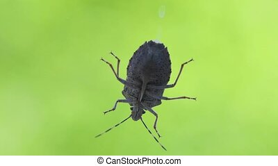 Stink bug an a window - Stink bug crawling on glass surface