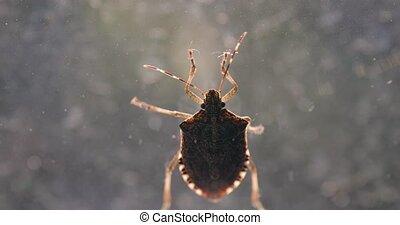 Stink bug closeup on the window - Stink bug on a window ...