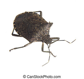 Stink bug - Isolated insect that is known as a stink bug