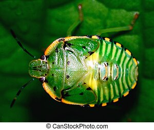 Stink bug - Top view of a stink bug or shield bug.