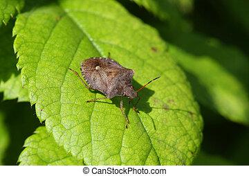 Stink Bug warming on leaf in morning sun