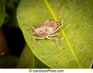 Stinkbug or shield bug on leaf of plant