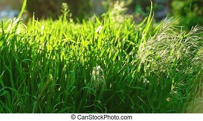 Stipa grass moving on wind pan shot slow motion